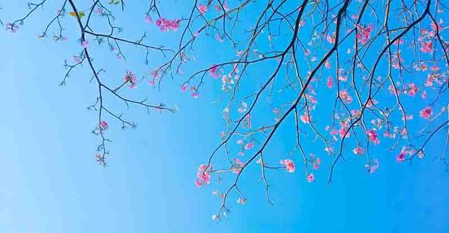 Có một Sài Gòn mộng mơ mùa hoa kèn hồng nở rộ - 9