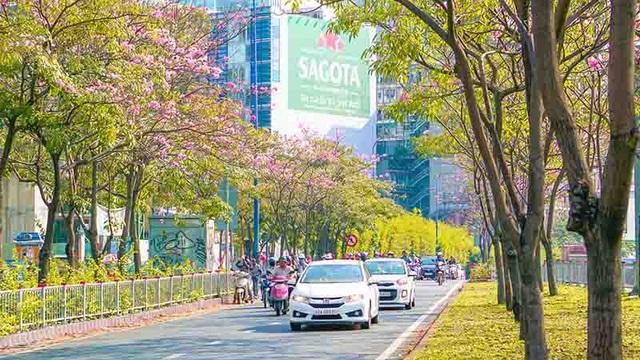 Có một Sài Gòn mộng mơ mùa hoa kèn hồng nở rộ - 4