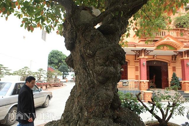 """Anh Phan Toàn (TP. Việt Trì, Phú Thọ) chủ nhân của cây lộc vừng cho biết, cây lộc vừng này có tên """"tích tụ phát lộc"""";cây có tuổi đời rất cao;đặc biệt phần gốc cây nu (phình to) hơn 2m"""