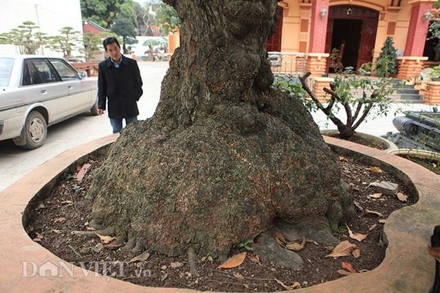 Vỏ thân cây xù xì, u bưới chứng to cây có tuổi đời lâu năm