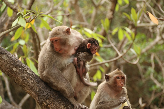 Khỉ trên đảo Cát Dứa hầu hết là khỉ đuôi dài, tên khoa học là Macaca Facicularis. Khỉ khá thân thiện với du khách. Đây cũng chính là một trong những lý do thu hút du khách tới tham quan đảo.