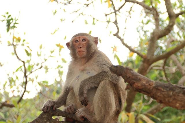Từ năm 1993 đến nay, số lượng khỉ tăng lên nhiều do sinh sản tự nhiên.