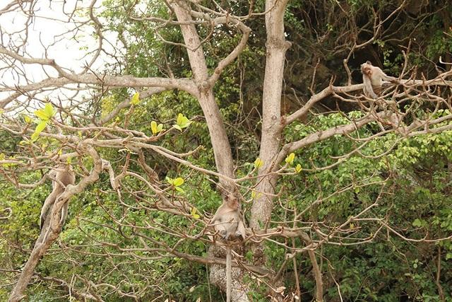 Đảo Cát Dứa nằm trong quần thể vườn quốc gia Cát Bà (Hải Phòng). Để tăng sức hấp dẫn du khách, từ năm 1993, kiểm lâm địa phương đã cho thả nuôi thêm khỉ trên đảo. Số khỉ này có nguồn gốc từ trung tâm Cứu hộ động vật hoang dã ở Hà Nội.