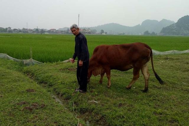 Người dân xã Thiệu Dương muốn chăn thả trâu bò ra đồng phải đóng phí
