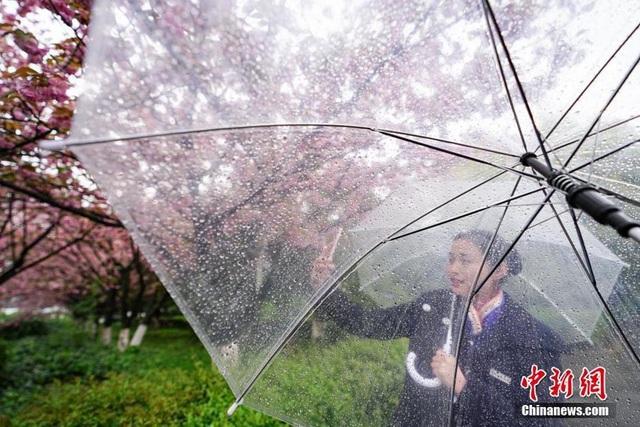 Hoa anh đào dưới những cơn mưa xuân cuối mùa