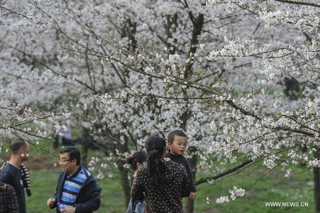 Dòng người đổ về thành phố Quý Dương ngày một đông để thưởng thức vẻ đẹp của hoa