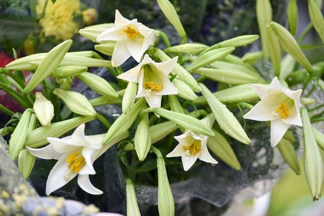 Hoa loa kèn được ưa chuộng vì dễ chăm sóc, củ giống giá rẻ và có thể trồng lại. Nếu được chăm sóc tốt, một củ giống có khi cho tới 15 - 16 bông hoa.