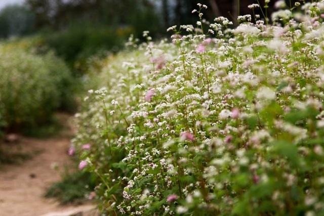 Cánh đồng hoa này nằm ở địa phận quận Long Biên, Hà Nội. Hoa Tam giác mạch đang nở trắng muốt, được gieo trồng tự nhiên trên một khu đất trống rộng khoảng gần 5000 m2.