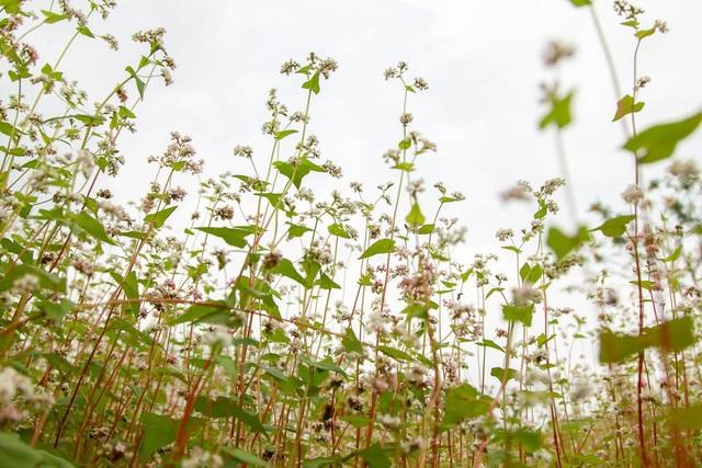 Hình ảnh lãng mạn của đôi bạn trẻ bên cánh đồng hoa tam giác mạch đã thu hút các tay máy đến ghi lại những khoảnh khắc hiếm có này.   Loài hoa này có vòng đời khoảng một tháng, mới đầu hoa nở có màu trắng, sau chuyển sang phớt hồng rồi mang một sắc tím rực rỡ, sau cùng sẽ chuyển sang màu đỏ sẫm là khi hoa sắp tàn.  Một bạn trẻ tạo dáng bên những cành hoa tam giác mạch.