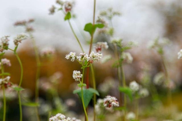 Do chủ vườn chủ ý gieo hạt muộn hơn so với mùa hoa tam giác mạch ở các nơi khác nên hoa trắng không được tím hồng như vụ đúng mùa.