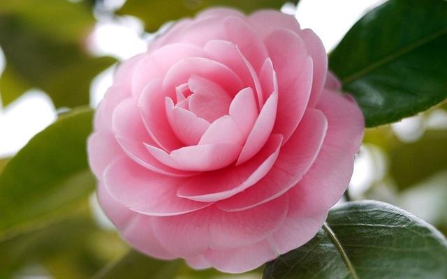 """Loài hoa đẹp không tì vết """"vạn người mê"""" khiến dân mạng điên đảo - 2"""