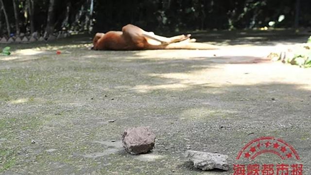 Con chuột túi nằm gục trên sàn sau khi bị trúng gạch đá, bê tông từ các du khách. (Ảnh: Sina)