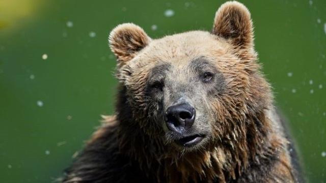 Gấu nâu hiếm có chết trong quá trình bắt giữ ở Ý? - 1