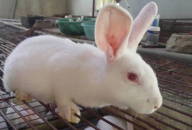 Một con thỏ New Zealand cân nặng hơn 2kg, mỗi kg thịt thương phẩm có giá gần 100 nghìn đồng.