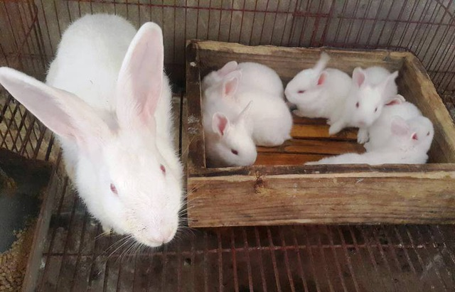 """Lão nông kiếm chục triệu đồng/tháng dễ như """"trở bàn tay"""" nhờ nuôi thỏ ngoại - 3"""