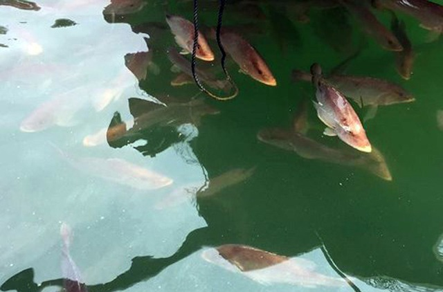 Cá điêu hồng tại lồng nuôi ở khu vực cảng Vũng Áng lờ đờ trên mặt nước. Một số sau đó đã bị chết (Ảnh: Vũ Hà)