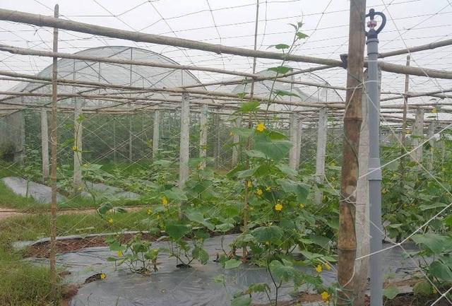 Mô hình trồng rau sạch an toàn rộng nhiều héc-ta của anh Dũng tại quê xã Khánh Thành.