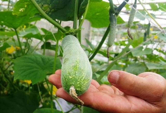 Dưa chuột an toàn, đảm bảo sức khỏe sắp cho thu hoạch trong vườn rau nhà anh Dũng.