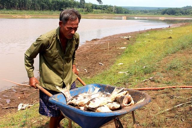 Gia đình ông Cù đang đối mặt với nguy cơ trắng tay do cá chết hàng loạt.