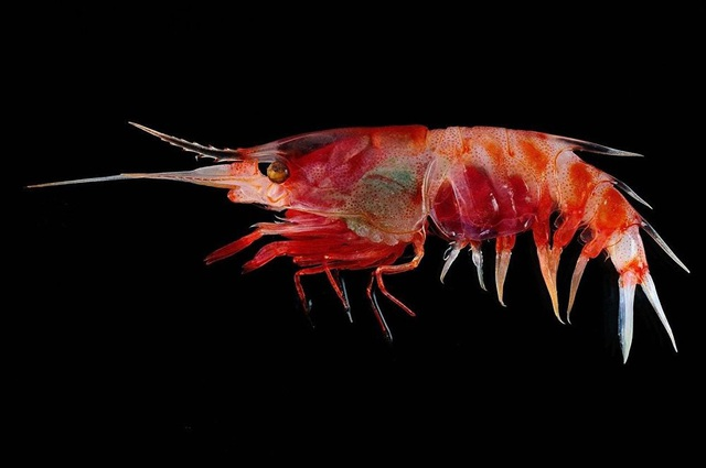 Tôm Blood Shrimp.