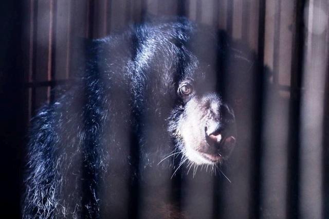 Một trong hai cá thể gấu ngựa bị nuôi nhốt 15 năm qua đã được cứu hộ thành công.