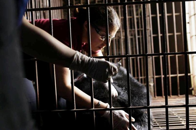 Các bác sĩ thú y tiêm thuốc mê trước khi tiến hành thăm khám sức khỏe cho gấu.