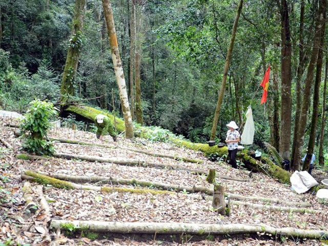 Vườn sâm Ngọc Linh được trồng dưới tán rừng cổ thụ