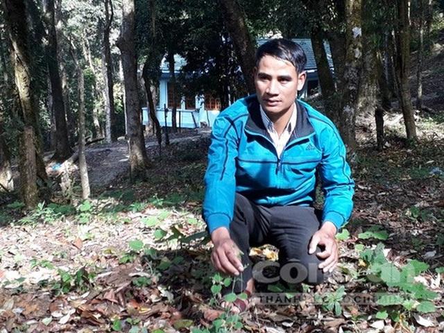 Anh A Nhoai trồng Hồng Đẳng sâm trên núi Ngọc Linh