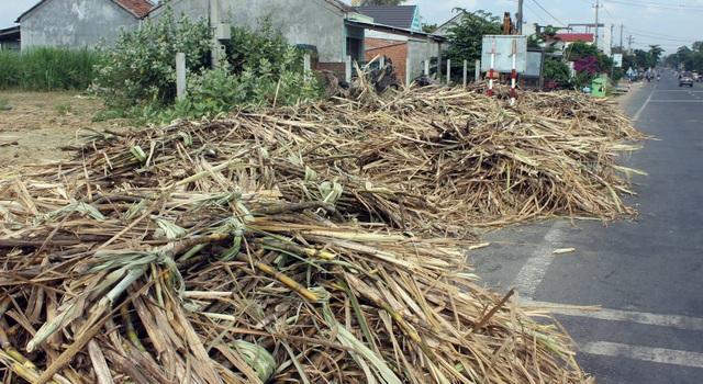 Tình trạng mía khai thác nằm phơi chờ nhà máy rất phổ biến ở huyện Sơn Hòa, Phú Yên