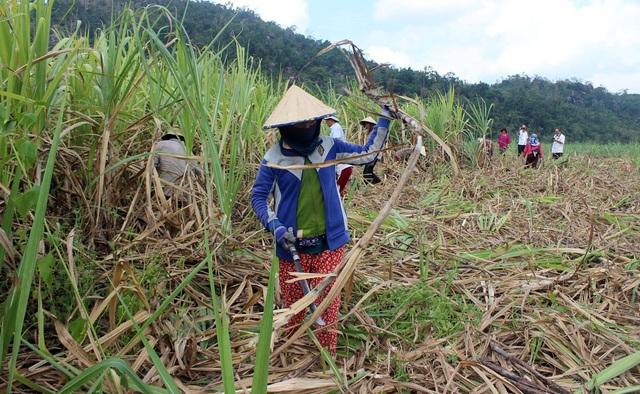 Với giá mía hiện tại thì 90% nông dân trồng mía đều thua lỗ