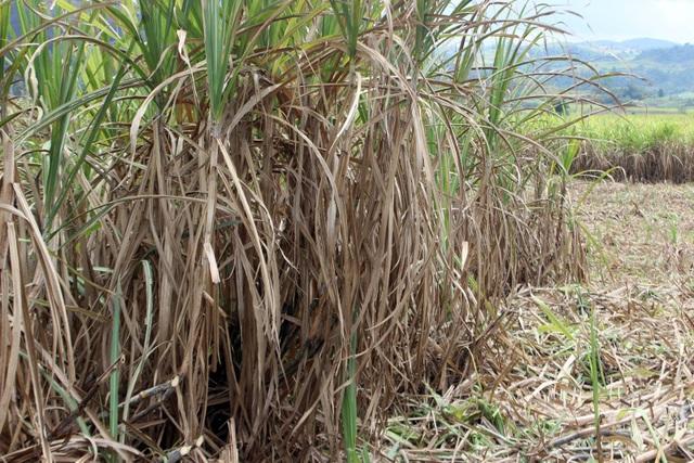 Hầu hết các diện tích mía quá hạn thu hoạch ở Phú Yên đều rơi vào tính trạng khô lá, mất chữ đường