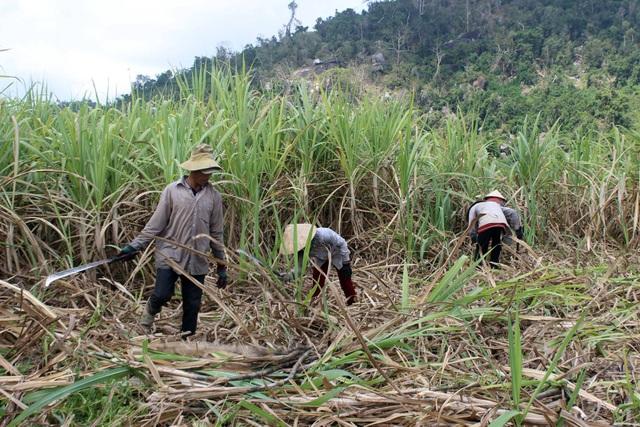 Giá mía thấp, nhưng giá nhân công vận chuyển cao, nên hầu như người trồng mía Phú Yên đều thua lỗ