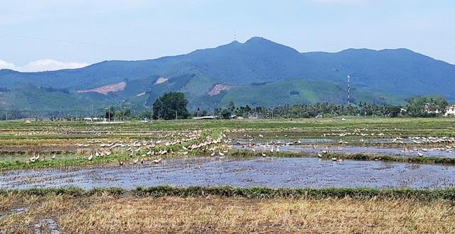 Một số xã ở huyện Hoài Ân (Bình Định) đang thu phí công đồng lạc túc đối với người nuôi vịt thả đồng.