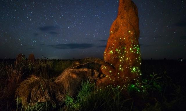 """Bức ảnh của Marcio Cabral có tên gọi """"Night Raider"""" (Kẻ tấn công ban đêm), cho thấy con thú đang tiếp cận một ụ mối lúc nửa đêm."""