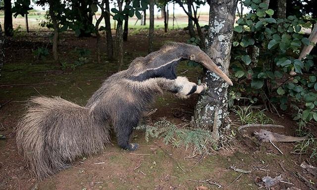 Con thú ăn kiến đã được nhồi bông ở công viên quốc gia Emas (Brazil).