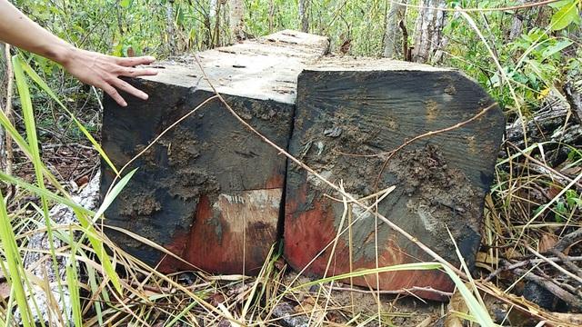 Dù đã xẻ hộp nhưng những lóng gỗ vẫn rất khủng