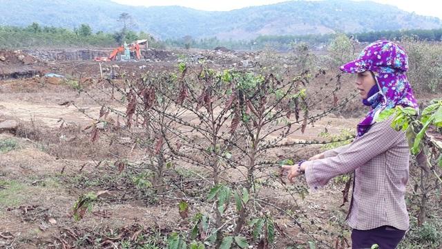 Vườn cà phê chị Thúy bị ảnh hưởng nặng nề do bụi và đá