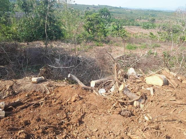 Hiện trường còn sót lại sau khi cây đa sộp có kích thước khủng được khai thác