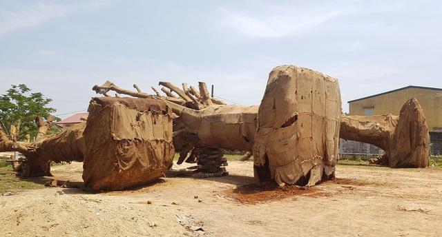 3 cây quái thú nằm chỏng chơ tại bãi đất rộng ven đường tránh TP Huế