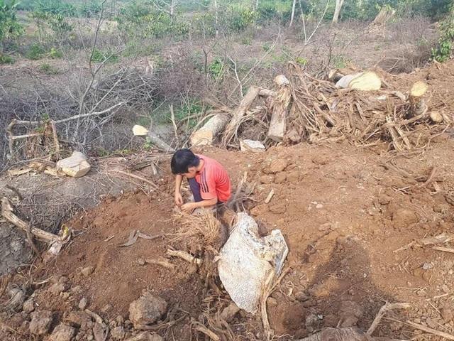 Hố sâu nơi khai thác cây quái thú đã được chủ vườn lấp đất, san bằng lại