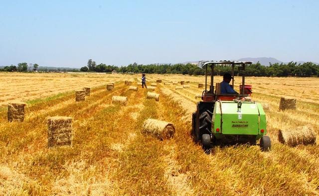 Trên các cánh đồng lúa ở nông thôn tỉnh Bình Định, thương lái giành nhau mua rơm.