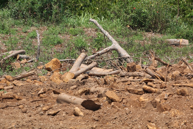 Hiện trường còn sót lại của một vụ khai thác cây khủng