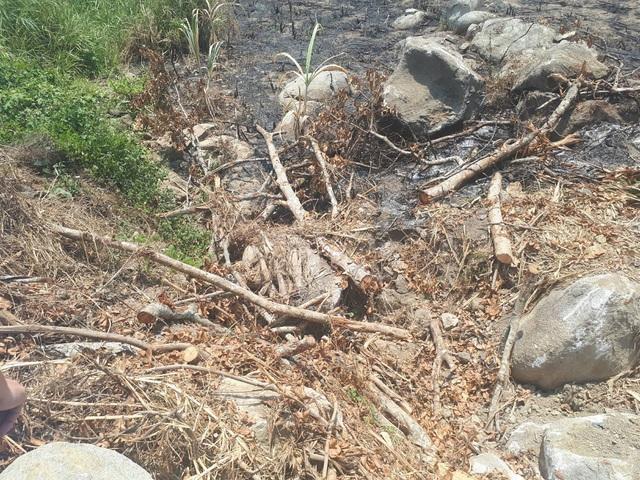 Những cành cây đa sộp còn sót lại sau khi bứng cây