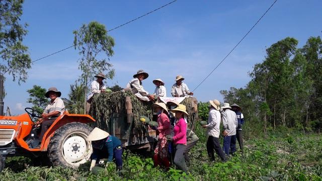 Giá dưa đầu vụ tăng mang lại lợi nhuận cao cho người trồng dưa sau nhiều năm liên tiếp lỗ nặng