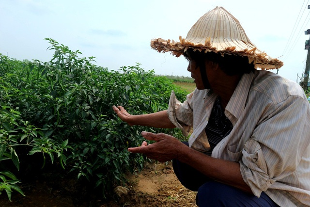 Giá ớt liên tục giảm, hiện chỉ còn 4.500 đồng/kg, mỗi sào nông dân có thể lỗ từ 5-7 triệu đồng
