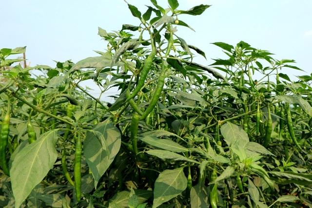 Lại điệp khúc được mùa mất giá khiến nông dân chán nản, nguyên nhân là do Trung Quốc tiêu thụ chậm nên tiểu thương chỉ thu mua cầm chừng