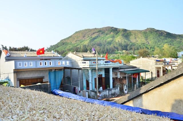 Đất đảo chật hẹp nên lúc thu hoạch đồng loạt là phải đưa lên mái nhà để phơi. Phơi trên mái nhà tuy tốn công hơn nhưng được cái là tỏi mau khô, khô đều và ít hư hỏng, hao hụt hơn so với phơi dưới đất, ông Quảng cho biết