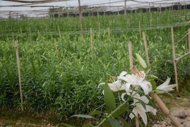 Những nụ hoa đã chuyển từ xanh sang trắng, có kích thước lớn sẽ được người trồng chọn để thu hoạch.
