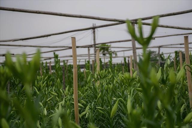 Cả làng Tây Tựu có khoảng 4-5 vườn trồng hoa loa kèn đang vào chính vụ. Mỗi vườn có diện tích khoảng 100m2 sẽ thu hoạch được khoảng 2.000-3.000 bông loa kèn/buổi.