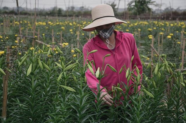 """Chị Thanh – một chủ vườn chia sẻ: """"Nhà tôi năm nay trồng củ của nhà và bán đúng thời điểm nên còn lãi được. Chứ những nhà mua củ, may thì hòa vốn, không cũng lỗ phân nửa vốn."""